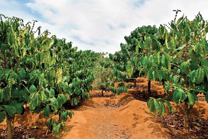 مزارع قهوه کاپولی