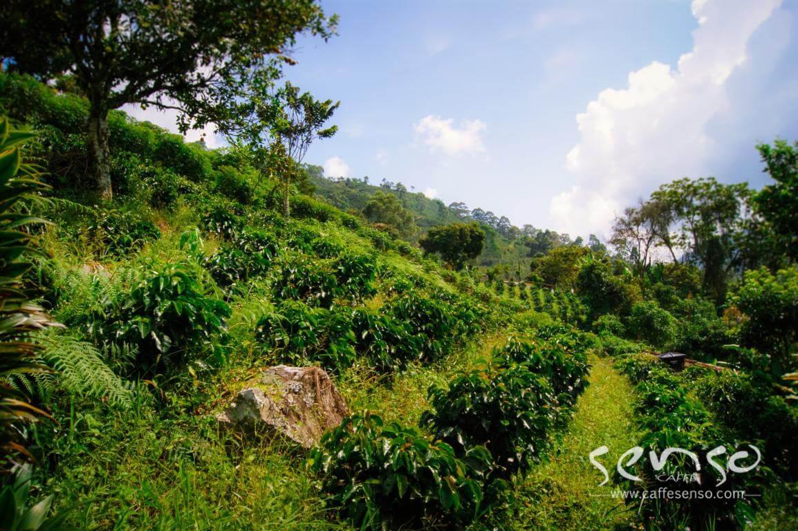 عکسهای درخت کلمبیا