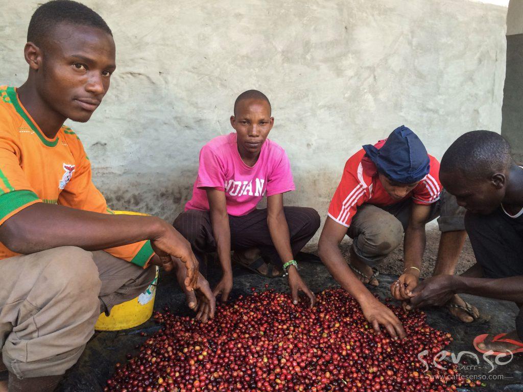 عکس های مزارع قهوه تانزانیا