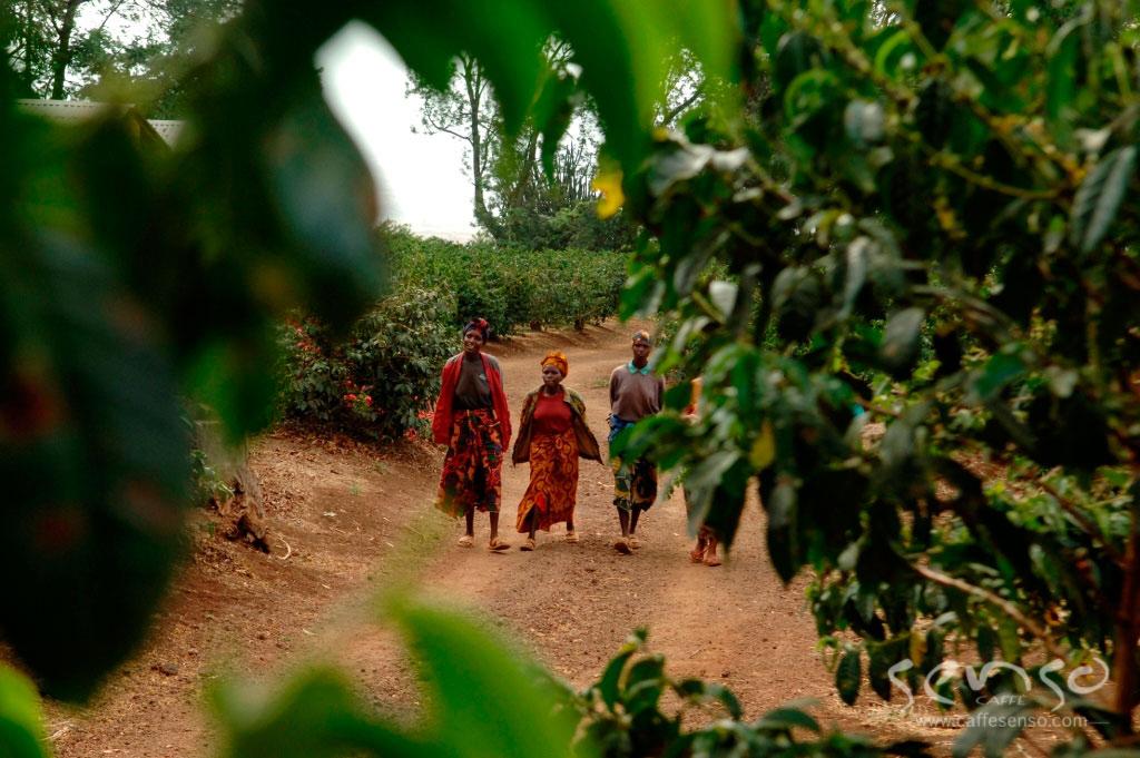 عکس قهوه تانزانیا عربیکا