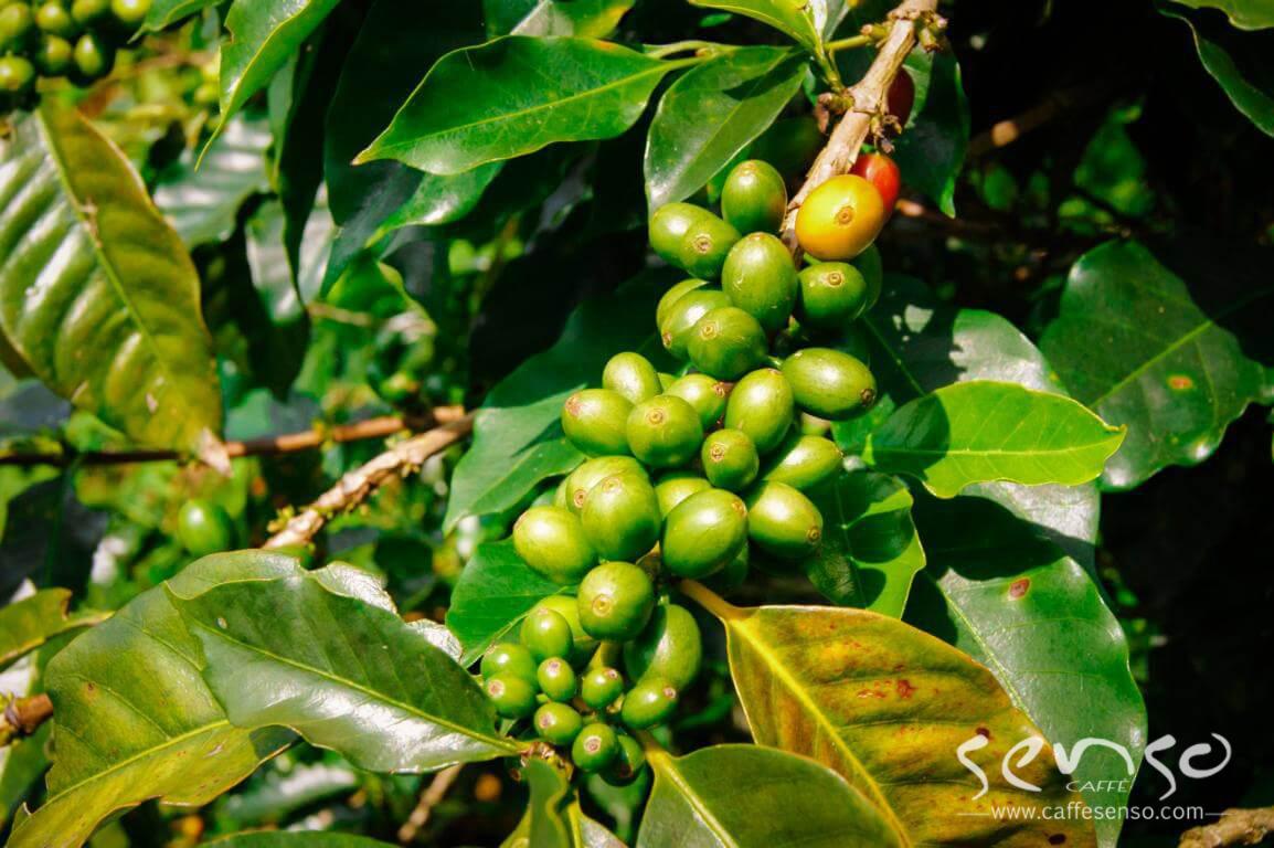 گیلاس قهوه کلمبیا